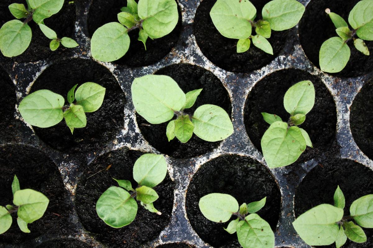 Когда и как сажать баклажаны на рассаду: 6-ти этапная технология на пути к шикарному урожаю