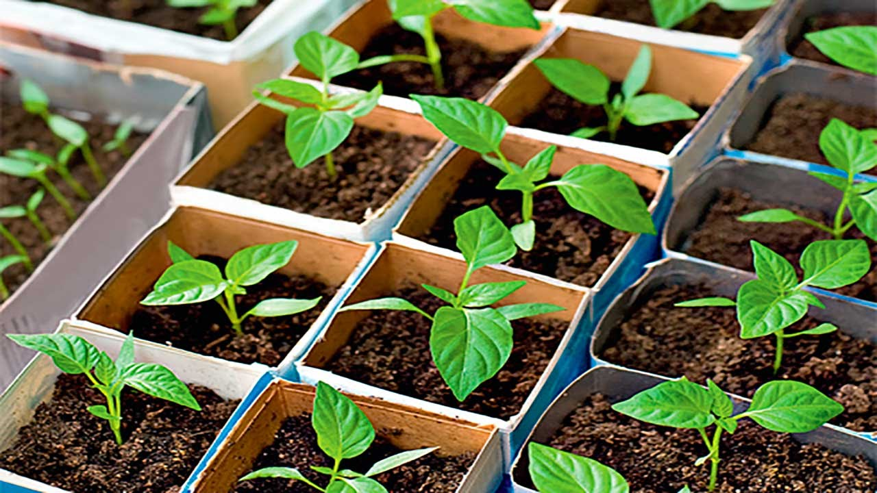 Посадка семян перца на рассаду и правила последующего ухода за ней