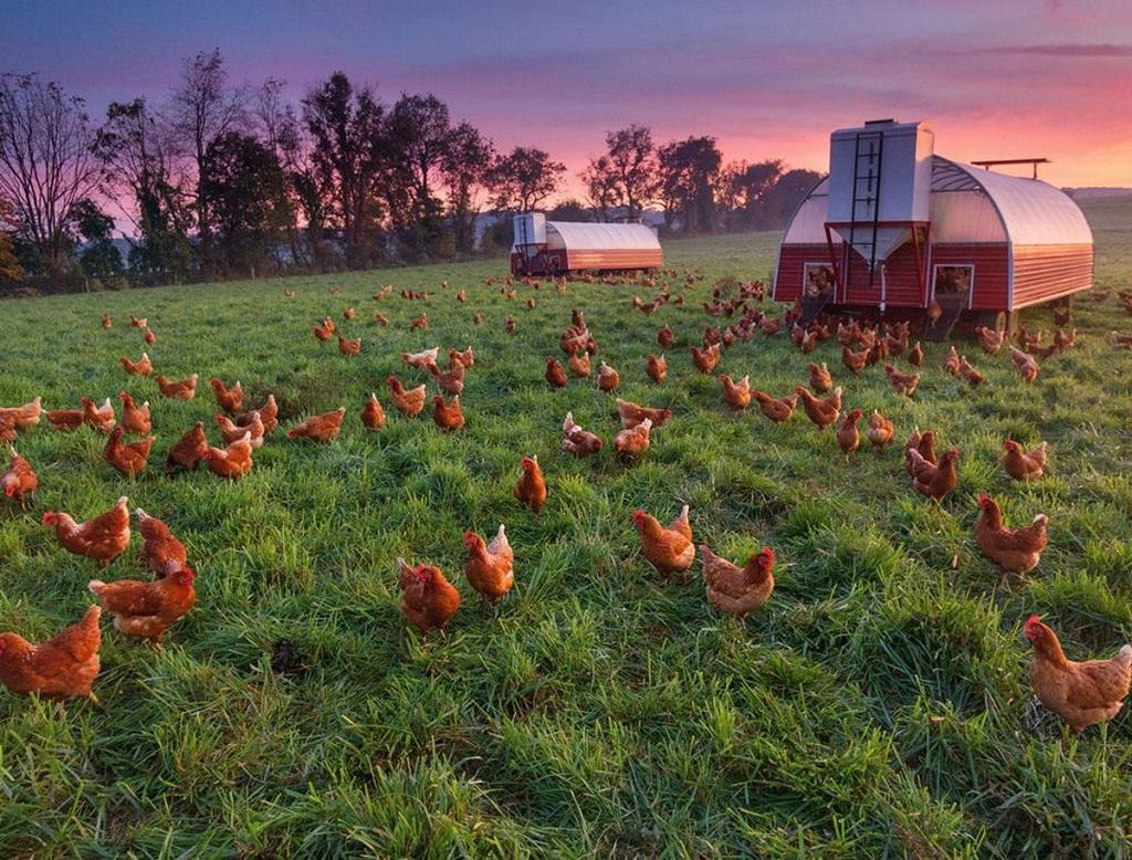 Птичий помет - ценное органическое удобрение