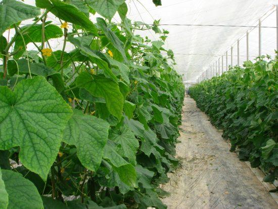 Сколько растут огурцы в теплице