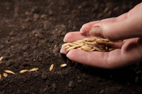 Посев семян корнишонов в теплице