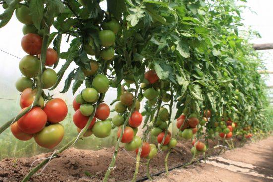 помидоры в теплицах