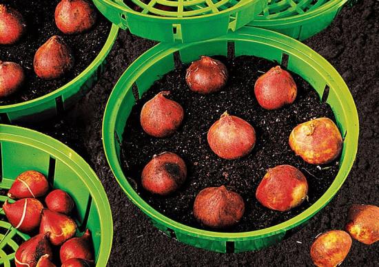 луковицы тюльпанов в корзинах