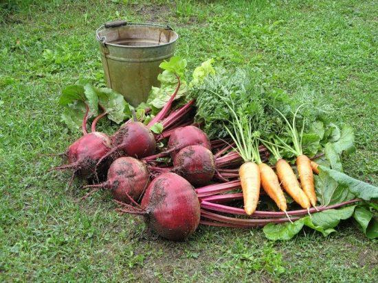 Выкопанные свекла и морковь, ведро
