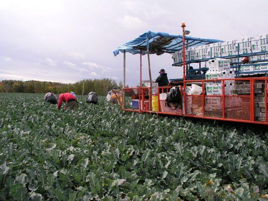 Сбор урожая брокколи