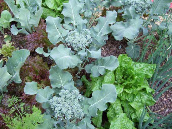 Совместная посадка овощных культур