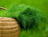 Укроп — один из самых популярных видов зелени