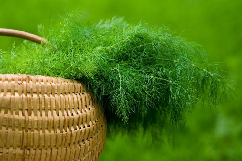 Укроп: тонкости выращивания и сбора урожая