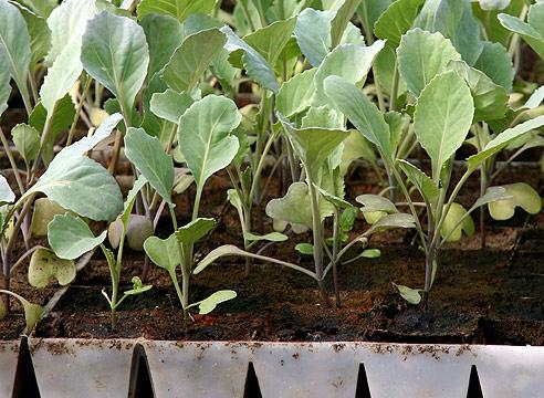 Сеянцы цветной капусты в кассетах для рассады