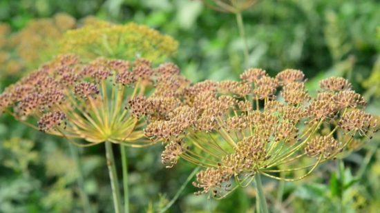 Созревшие семена укропа в зонтиках