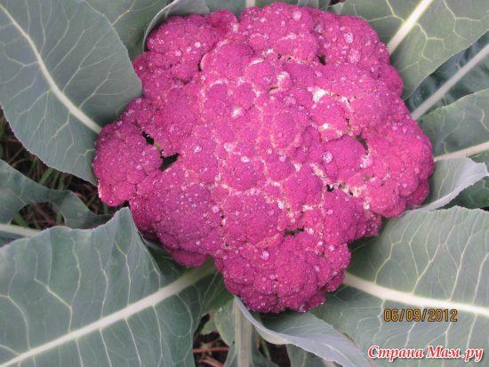 Сорт цветной капусты Лиловый шар