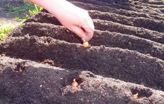Посев лука в гребни