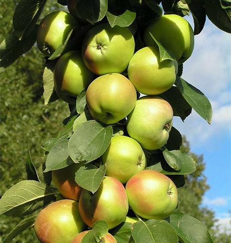 Сорт яблок Президент