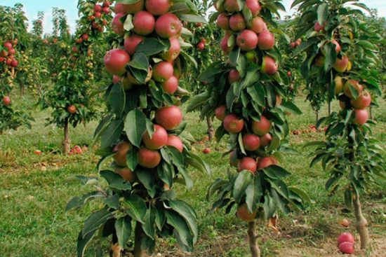 Яблоня колонновидная Триумф