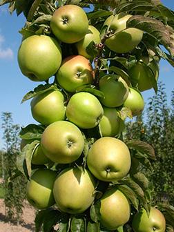 Сорт яблок Малюха
