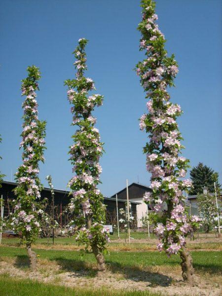 колонновидная яблоня в цвету