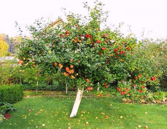 Яблоня в саду