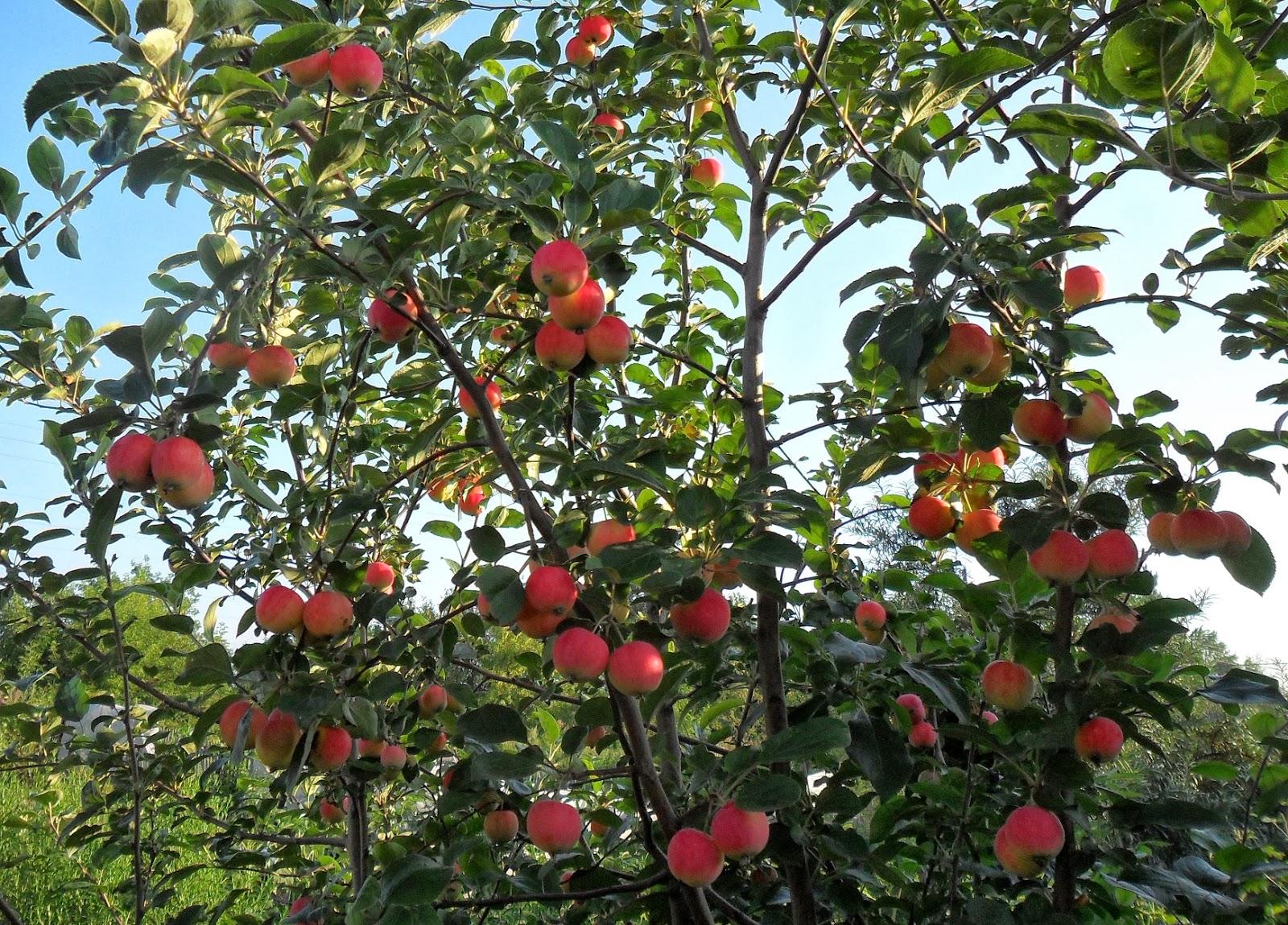Выбор хорошего сорта яблони для своего участка
