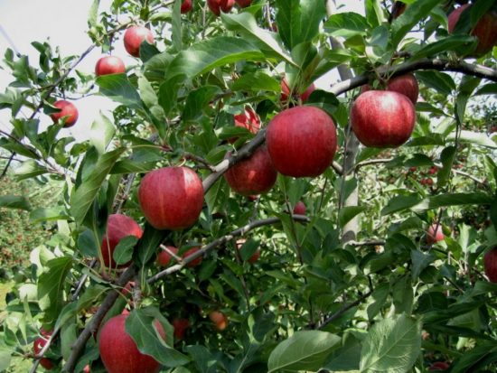 Яблоки Гала на ветке