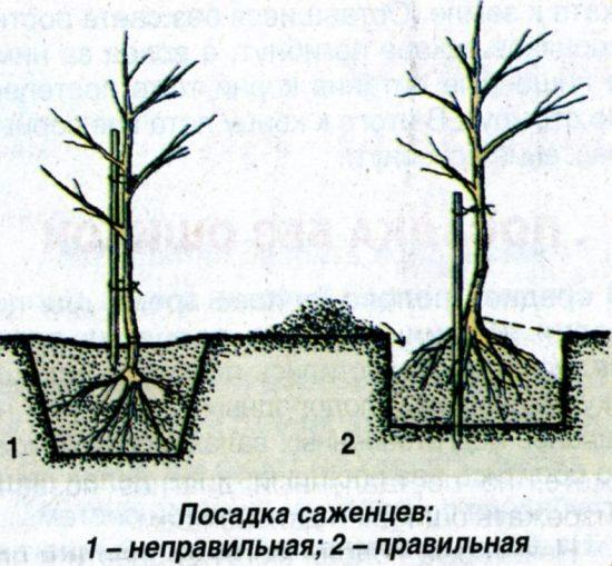 последовательность посадки саженца дерева