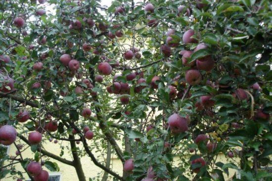 Яблоня Флорина с плодами