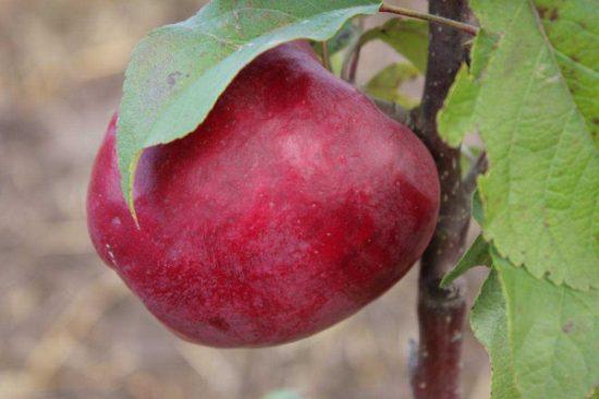 Плод Лобо