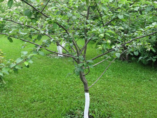 Яблоневый саженец