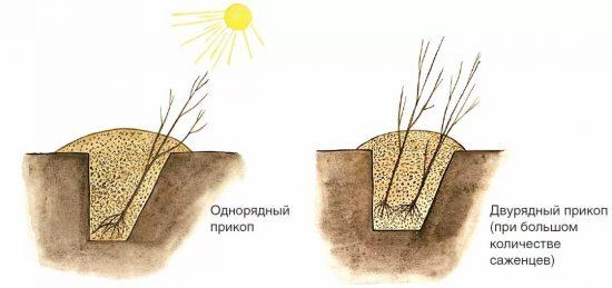 Схема прикопа саженцев на зиму