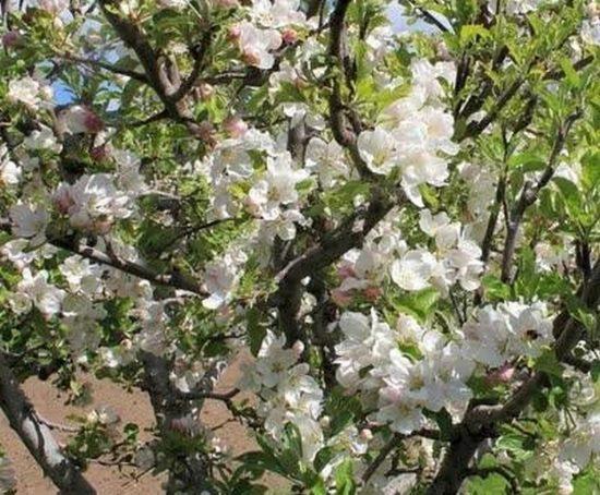 Цветение Жигулёвской яблони
