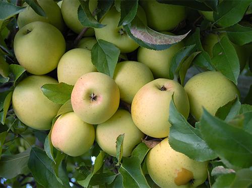 Яблоки Голден Делишес на ветке