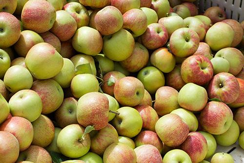 Яблоко Джонаголда