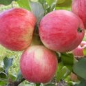 Яблоки сорта Мечта летнего подвида