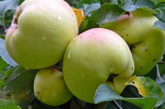 Яблоки Богатырь на ветке