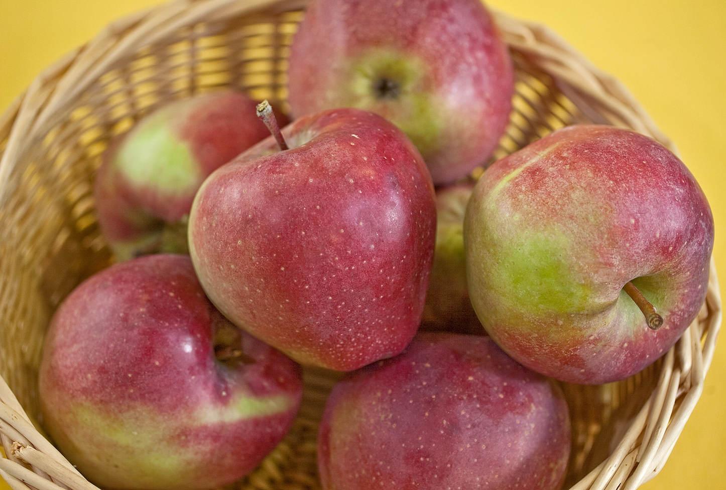 Всё о выращивании яблони сорта Глостер