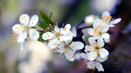 Цветение яблони Глостер