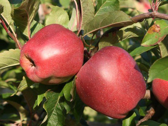 Плоды яблони Глостер на ветке