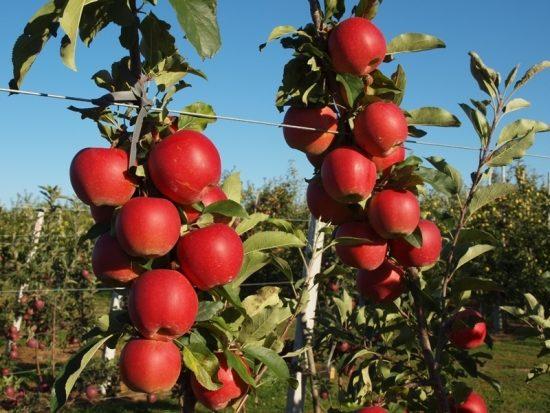 Яблоня сорта Гала