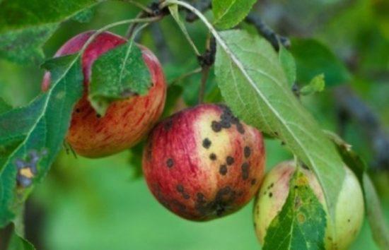 Плоды яблони, поражённые паршой