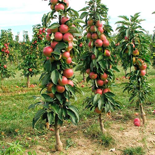 Яблони в виде колонны