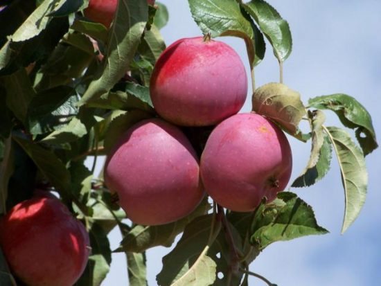 Плоды яблони Имант