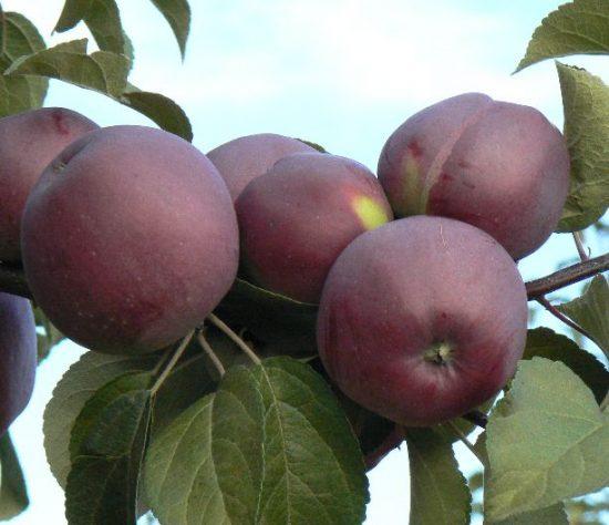 Внешний вид яблок Имант