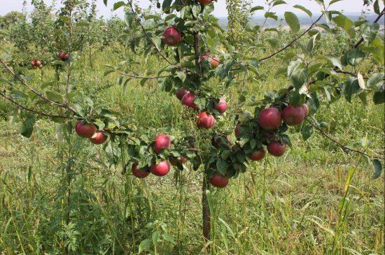 Урожай на молодой яблоне Имант