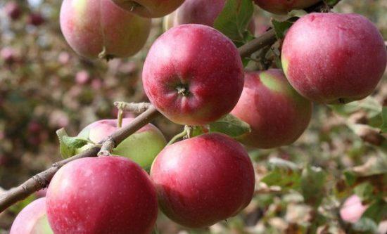Созревшие яблоки сорта Рождественское
