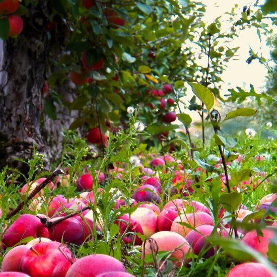 Спелые плоды под яблоней