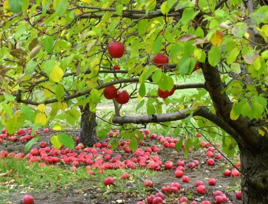 От Ренета Симиренко до Фуджи: лучшие сорта яблонь для садов Украины