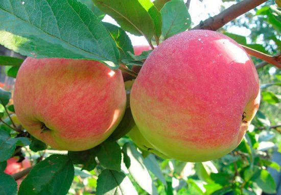 Яблоки сорта Конфетное