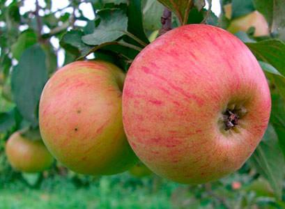 Яблоки сорта Медуница