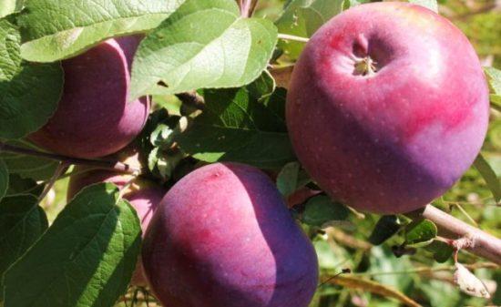 Яблоки сорта Вильямс Прайд
