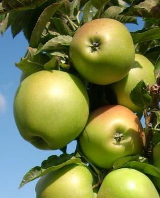 Яблоки сорта Клоуз