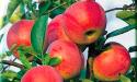 Яблоки сорта Деликатес